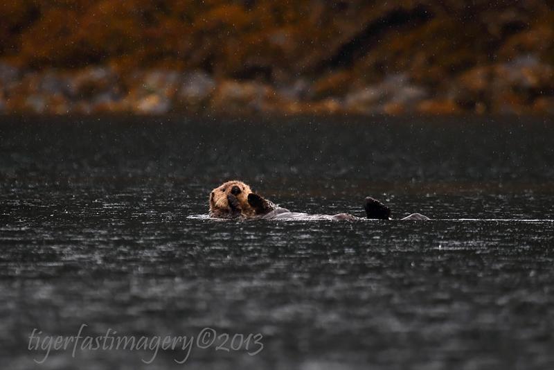 seaotters/alaskaseaotters201301.jpg